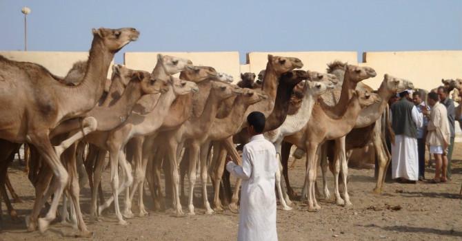 Birqash Cairo Camel Market Tour